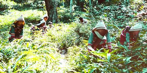 种植砂仁-基诺族影像