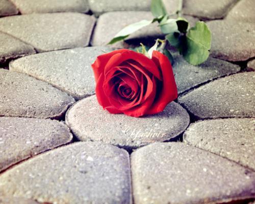 玫瑰情人节-- 5